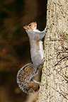 Grey squirrel climbing on a tree trunk Great Britain (Gray squirrel)