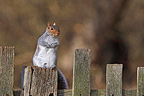 Grey squirrel standing on a fence made of wood Great Britain (Gray squirrel)