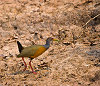 A Grey-necked Wood-rail in Pantanal National Park Brazil (Grey-necked Wood-rail)