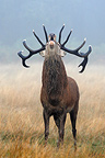 Male Red deer troating Great Britain (Red deer)