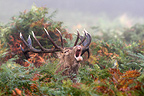 Male Red deer troating in the ferns Great Britain (Red deer)