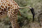 Giraffe giving birth, Masai Mara, Kenya