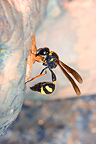 Mason Wasp building its nest with mud (wasp)