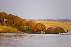 Elephant breeding herd walking into Chobe River Botswana (African elephant)