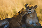 Lion mother and cub cuddling Maasai Mara Kenya (African lion)