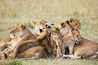 Lion mothers and cubs cuddling closely together Maasai Mara (African lion)