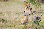 Lion cub playing with branch Maasai Mara Kenya (African lion)