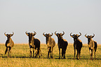 Alert wildebeest herd due to presence of lions Maasai Mara (Wildebeest)