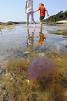 Mauve Stinger Jellyfish near the coast Mediterranean Sea