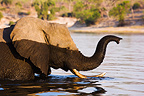 African Elephant crossing Chobe River Botswana (African elephant)