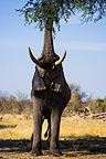 Elephant feeding on leaves of acacia tree Okavango Delta (African elephant)