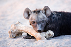 Young spotted hyenas and bone at den Moremi Okavango Delta (Spotted Hyena)