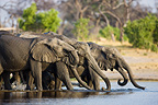 Elephant breeding herd  drinking in water Okavango Delta (African elephant)