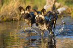 African wild dog pups running across water Okavango Delta (African wild dog)