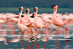 Lesser flamingos walking in water Lake Nakuru Kenya (Lesser Flamingo)