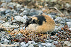 Norway Lemming grazing of young shoots of grass (Norway lemming)