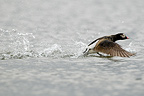 Long-tailed Duck male pursuing a rival Swedish Lapland  (Long-tailed Duck)
