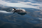 Striped Dolphin out of water off the Hyeres Islands (Striped Dolphin)