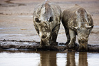 White rhinoceros covered in mud and big calf drinking Nakuru (White rhinoceros)