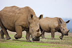 White rhinoceros and calf walking at dusk Nakuru Kenya (White rhinoceros)