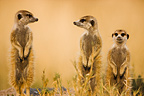 Meerkats sentinel looking out for predato Kalahari Botswana  (Meerkat )