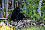 American Black Bear sat enters trees in summer Manicouagan (Black bear )