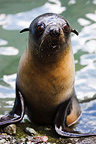 New Zealand fur seal pup Cape Palliser New Zealand (New Zealand fur seal )