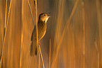 Savi's Warbler male singing on a Reed stem Spain (Savi's Warbler)