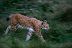 Eurasian Lynx walking in the forest Germany (Eurasian lynx )