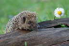Western European Hedgehog sniffing near a Lawndaisy (Western european hedgehog)