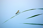 Damselfly on leaf at the edge of Adour river France