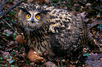 Eagle-Owl and prey, Meuse, France