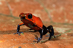 Strawberry poison dart frog on leaf Nicaragua  (Strawberry poison dart frog)