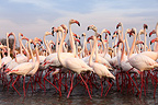 Caribbean Flamingos walking in water PNR de Camargue (Caribbean Flamingo)