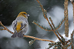Pine Grosbeak female on conifere Quebec Canada (Pine Grosbeak)