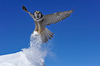 Northern Hawk Owl flying away Quebec Canada  (Northern Hawk Owl)