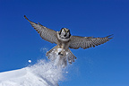 Northern Hawk Owl flying away Quebec Canada� (Northern Hawk Owl)