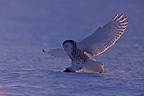 Snowy Owl catching a prey in snow Quebec Canada  (Snowy Owl)