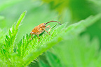 Acorn Weevil on a Stinging Nettle leaf in Touraine France (Acorn Weevil)