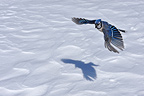 Blue jay on flight in winter Quebec France  (Blue Jay)
