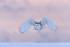Snowy Owl in flight in winter Quebec Canada  (Snowy Owl)
