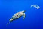 Green turtle swimming towards a plastic bag Comoros (Green sea turtle)
