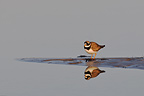 Common ringed plover near water Varanger Norway (Common Ringed Plover)