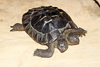 Spur-thighed Tortoise with two heads (Spur-thighed tortoise)