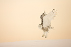 Snowy owl flying in winter Quebec Canada (Snowy Owl)