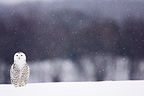 Snowy owl on the ground in winter Quebec Canada (Snowy Owl)