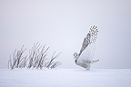 Snowy owl stretching its wings Quebec Canada (Snowy Owl)