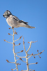 Northern hawk owl on a branch Quebec Canada (Northern Hawk Owl)