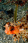 Head of an Oriental Flying Gurnard on a sand bottom Sulawesi (Oriental flying gurnard)