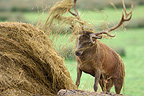Red deer in rut tore a haystack Moselle France (Red deer)